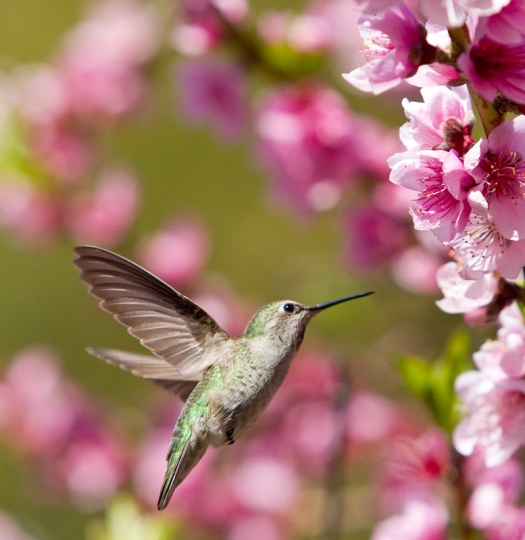 Hummingbird feasting on nectar from a Nectarine tree