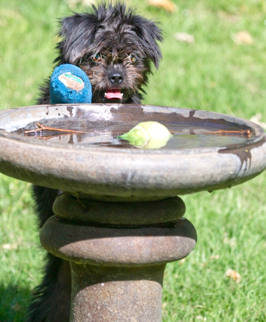dog looking at toy in a bird bath