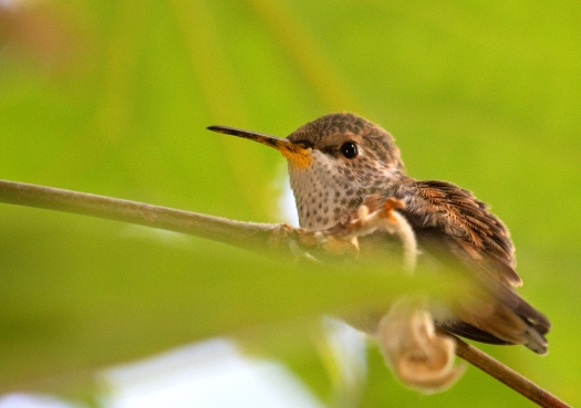 Baby hummingbird is hesitant to fly for the first time.